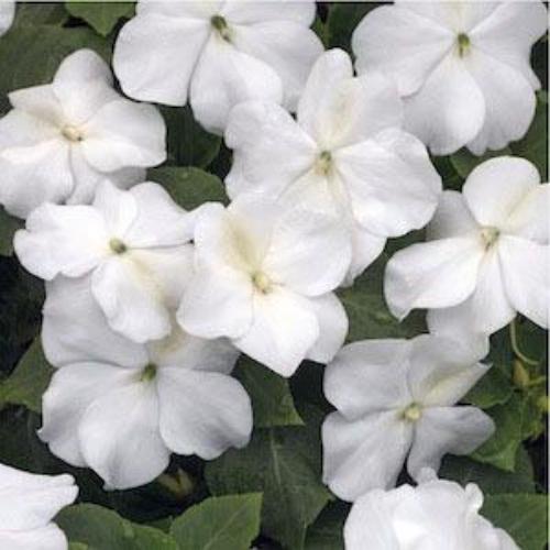 Impatiens Seeds - Baby White Impatiens Flower Seed White Impatiens Flowers