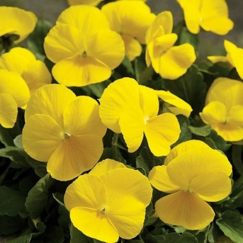 Pansy Seeds - Yellow Pansy Flower Seed