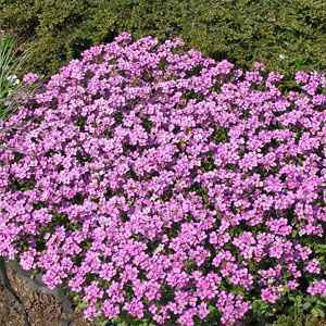 Arabis rock cress seeds arabis alpina ground cover seed for Pink flower perennial ground cover